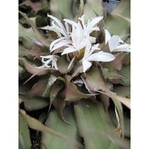 Bromélia Branca Cryptanthus Mini