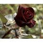 Mudas De Rosa Príncipe Negro +flor+jardim+botoes+rosa Negra