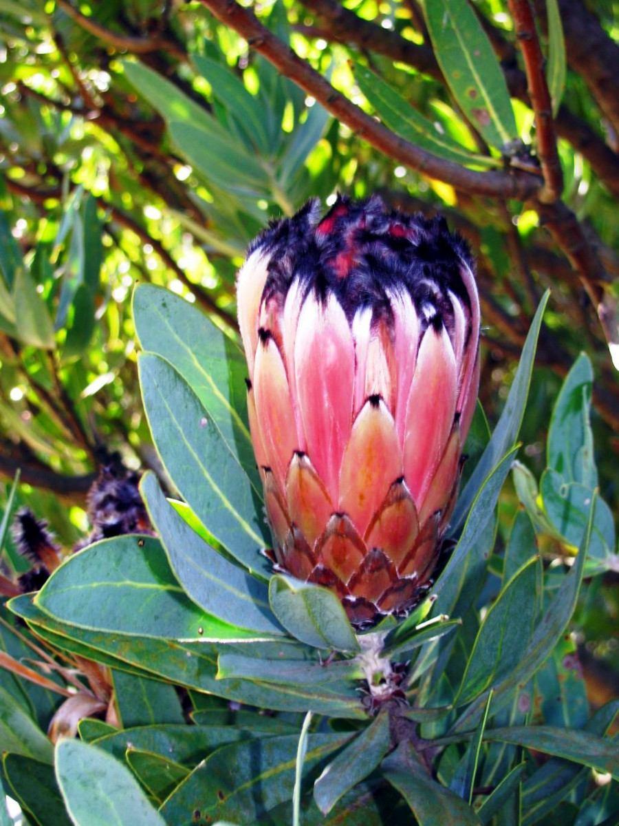 plantas de jardim lista:Protea Pic