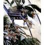 Lindas Flores Orquídeas 1893 Pintor Caillebotte Tela Repro