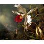 Beija-flor Rubi Orquídea Branca Vermelha Heade Na Tela Repro