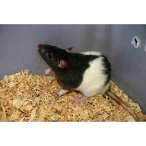 Filhotes De Ratos Twister Para Estimacao