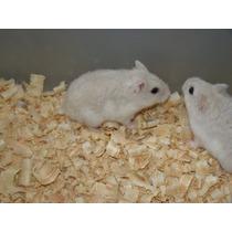 Hamster Anão Russo, Chines E Sírio, Esquilo Da Mongolia