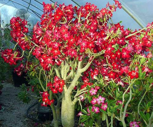 Rosa Do Deserto Wardfha Adenium Semente Flor Para Mudas