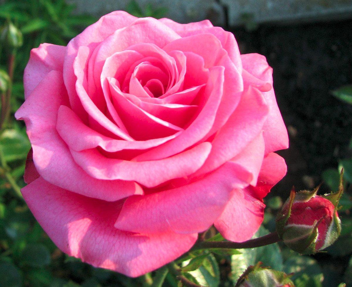 Rosa net worth