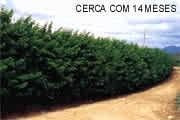 Sementes De Cerca Viva Sansão Do Campo 500g + Saco De Mudas