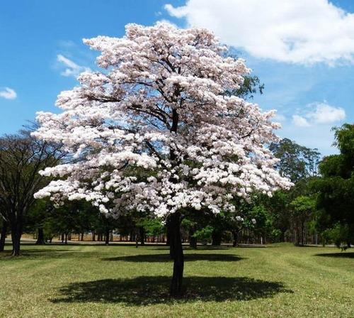 ipe de jardim arvore : ipe de jardim arvore:Sementes De Ipê Branco Para Mudas Ou Árvore – R$ 6,99 no