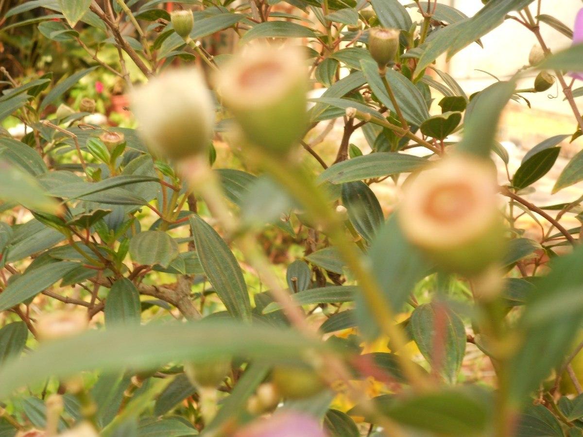 manaca da serra para jardim ? Doitri.com