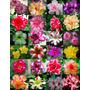 500 Sementes Rosa Do Deserto (100 Variedades) Adenium Obesum