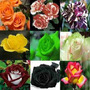 Kit Rosas Raras 20 Sementes 20 Cores Diferentes
