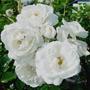 10 Sementes Rosa Trepadeira Branca + Frete Grátis