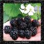 Amora Silvestre Preta Blackberry Sementes Flor Para Mudas