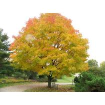 Sementes De Acer Ginnala - Mudas Bonsai Ou Árvores
