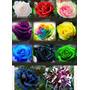 Novo Kit Sementes De Rosas Chinesas 11 Cores + Frete Grátis