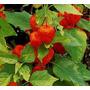 Physalis Hosuky 100 Sementes-fruta Exotica-frete Gratis