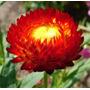 150 Sementes Da Flor Sempre Viva + Frete Gratis