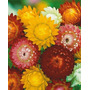 450 Sementes Flor Sempre Viva Dobrada Sortida Frete Grátis