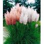 100 Sementes De Pampas Grass - Branca E Rosa Mudas Jardim