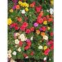 Sementes De Onze Horas Simples Portulaca Grandiflora