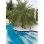 50 Sementes De Palmeira Fênix Ou Tamareira-de-jardim !