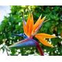 Flores Lindas 30 Sementes Da Ave-do-paraiso Frete Grátis!!!