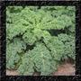 Couve Crespa Anã - Curly Kale - Sementes Hortaliças