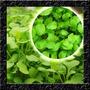 Mini Agrião Persa Baby Leaf Sementes Para Hortaliças
