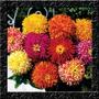 Zinnia Cactus Sortida Sementes Flor Pra Mudas