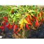 100 Sementes Da Pimenta Murupi Super Picante Frete Grátis