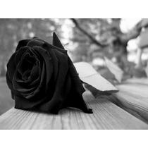 10 Sementes De Rosa Negra + Frete Gratis
