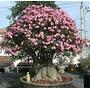 Rosa Do Deserto Kit Adenium Arabicum ( 50 Sementes) Adenium