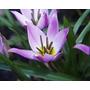 Muda De Tulipa Uma Flor Linda