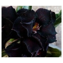 Rosa Do Deserto Kit 35 Sementes 35 Cor Adenium Triplas Raras