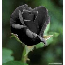 10 Sementes Rosa Preta Negra Exótica Rara + Frete Grátis