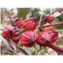 50 Sementes Vinagreira - Hibiscus Sabdariffa - Frete Gratis!