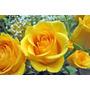 10 Sementes De Rosa Amarela + Frete Gratis