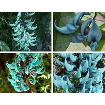 Jade Verde Trepadeira 5 Sementes + Brindes P Mudas