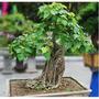 Ficus Religiosa ¿ 10 Sementes-serve Bonsai + Brindes P Mudas
