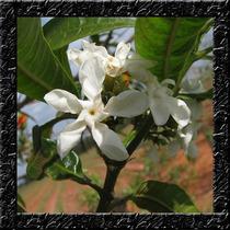 Jasmim Leiteiro Sementes Flor Perfumada Para Mudas E Bonsai