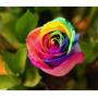 10 Sementes Da Rosa Arco Iris Rainbow Exótica E Rara Brindes
