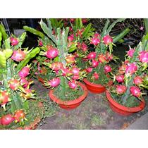 5 Sementes De Pitaia/fruta Dragão/orquídea/rosa-frete Grátis