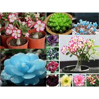 Kit Flores Do Deserto: Adenium+lithops+cactos - Frete Grátis