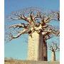 Baoba ¿ Adansonia Digitata ¿ 10 Sementes