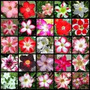 Rosa Do Deserto Adenium Obesum 100 Sementes Mix Cores Flores