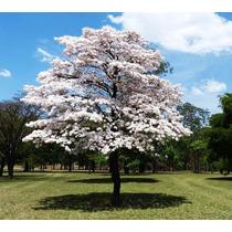 Sementes De Ipê Branco Para Mudas Ou Árvore