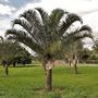 Sementes De Palmeira Triangular Para Mudas