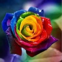 40 Sementes Rosa Arco Iris (colorida) - Raras - Frete Gratis