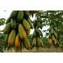 120 Sementes De Mamao Formosa Papaya - Frete Grátis