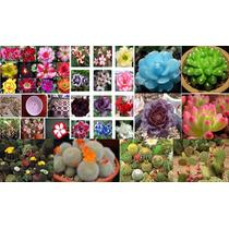 Kit Sementes De Rosas Do Deserto+lithops+cactos-frete Grátis