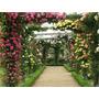 10 Sementes Rosa Chinensis Trepadeira - Flor Jardim Planta